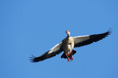Egyptian Goose Royalty Free Stock Photo