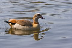 Egyptian Goose. These ducks are found mostly in the Nile Valley and south of the Sahara Stock Photos