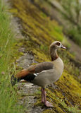 Egyptian goose. Adult Egyptian goose standing on river embankment Royalty Free Stock Images