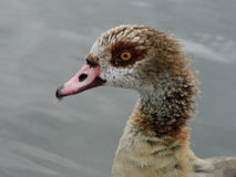 Egyptian Goose(Aegyptiacus) Royalty Free Stock Photography