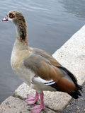 Egyptian Goose(Aegyptiacus) Royalty Free Stock Photo