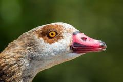 Egyptian goose Alopochen aegyptiaca close up of beautiful wate Stock Photos
