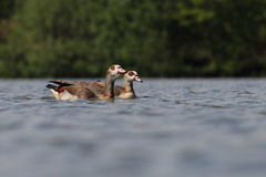 Egyptian Goose Alopochen aegyptiaca Stock Photos