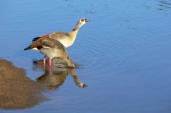 Egyptian goose (Alopochen aegyptiaca) Stock Photos