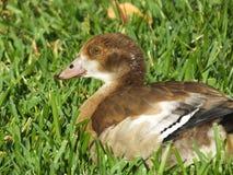Egyptian Goose (Alopochen aegyptiaca) Stock Image