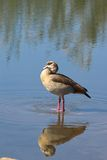 Egyptian Goose (Alopochen aegyptiaca) Stock Photos