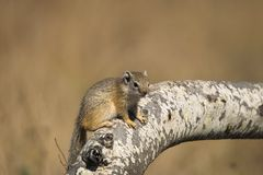 Tree Squirrel (Paraxerus cepapi) Stock Images