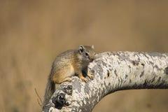 Tree Squirrel (Paraxerus cepapi) Stock Images