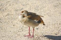 Egyptian Goose (Alopochen aegyptiaca) Stock Images
