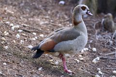 Egyptian goose Alopochen aegyptiaca resting on the shore of the pond royalty free stock image