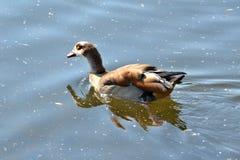 Egyptian goose Alopochen aegyptiaca on a river Stock Photography