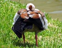 Egyptian Goose (Alopochen aegyptiaca) Royalty Free Stock Photo