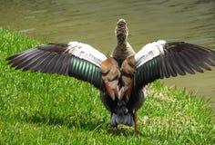 Egyptian Goose (Alopochen aegyptiaca) Royalty Free Stock Image