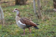 Close up of a Egyptian Goose Alopochen aegyptiaca Stock Photos