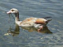 Egyptian Goose (Alopochen aegyptiaca) Royalty Free Stock Images