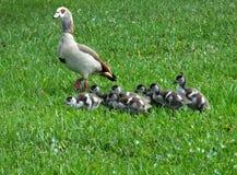 Egyptian Goose Alopochen aegyptiaca stock photos