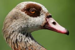 Egyptian Goose (Alopochen aegyptiacus). Stock Photography