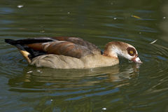Egyptian goose / Alopochen aegyptiacus Royalty Free Stock Images