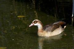 Egyptian goose / Alopochen aegyptiacus Stock Images