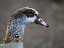 Egyptian goose (Alopochen aegyptiacus) Royalty Free Stock Photo