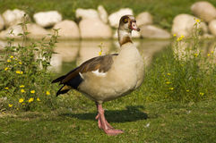Egyptian goose (Alopochen aegyptiacus). An African goose in a safari Stock Photography