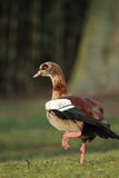 Egyptian Goose (Alopochen aegyptiacus). Sitting on a meadow Stock Image