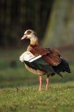 Egyptian Goose (Alopochen aegyptiacus) Stock Photos