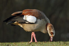 Egyptian Goose (Alopochen aegyptiacus). Sitting on a meadow Royalty Free Stock Images