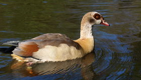 Egyptian Goose, Alopochen aegyptiacus Royalty Free Stock Photography