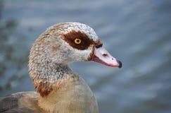 Egyptian goose, Alopochen aegyptiacus Stock Image