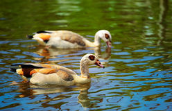 Egyptian Goose (Alopochen aegyptiacus). Pair of Egyptian Goose (Alopochen aegyptiacus) on a small lake in summer Stock Photo