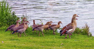 Egyptian goose, alopochen aegyptiacus,and babies. Walking on the grass near the water Royalty Free Stock Photos