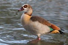 Egyptian goose - Alopochen aegyptiacus Royalty Free Stock Photos
