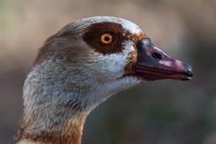 Egyptian goose - Alopochen aegyptiacus Stock Photography