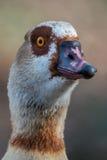 Egyptian goose - Alopochen aegyptiacus Royalty Free Stock Photography