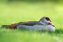 Egyptian goose - Alopochen aegyptiacus Stock Photo