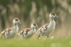Egyptian Goose, Alopochen aegyptiacus chick Stock Photos