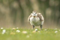 Egyptian Goose, Alopochen aegyptiacus chick Royalty Free Stock Photo
