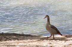 Egyptian goose (Alopochen aegyptiacus). An Egyptian goose at a city park duck pond in San Antonio, Texas royalty free stock image