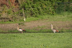 Egyptian goose ,Alopochen aegyptiacus. Couple of Egyptian goose in meadow ,Alopochen aegyptiacus Stock Photography