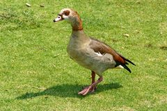 Egyptian goose in the grass royalty free stock images