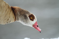 Egyptian Goose Alopochen aegyptiacus headshot with a backdrop of snow and snowflakes on its beak . An Egyptian Goose Alopochen aegyptiacus with a backdrop of Royalty Free Stock Photos
