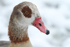 Egyptian Goose Alopochen aegyptiacus headshot with a backdrop of snow. An Egyptian Goose Alopochen aegyptiacus with a backdrop of snow and snowflakes on its Stock Photos