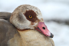 Egyptian Goose Alopochen aegyptiacus headshot with a backdrop of snow and snowflakes on its beak . An Egyptian Goose Alopochen aegyptiacus with a backdrop of Royalty Free Stock Image