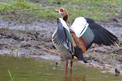 Egyptian goose (Alopochen aegyptiacus). In Kruger National Park Royalty Free Stock Photos