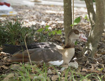 Egyptian Goose Alopochen aegyptiacus Royalty Free Stock Images