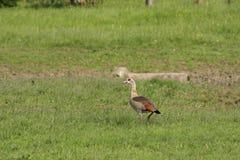 Egyptian goose ,Alopochen aegyptiacus Royalty Free Stock Photos
