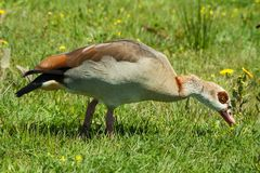 Egyptian Goose Alopochen aegyptiacus royalty free stock images
