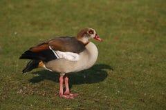 Egyptian goose, Alopochen aegyptiacus Royalty Free Stock Image