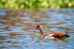 Egyptian goose or Alopochen aegyptiacus Stock Photography